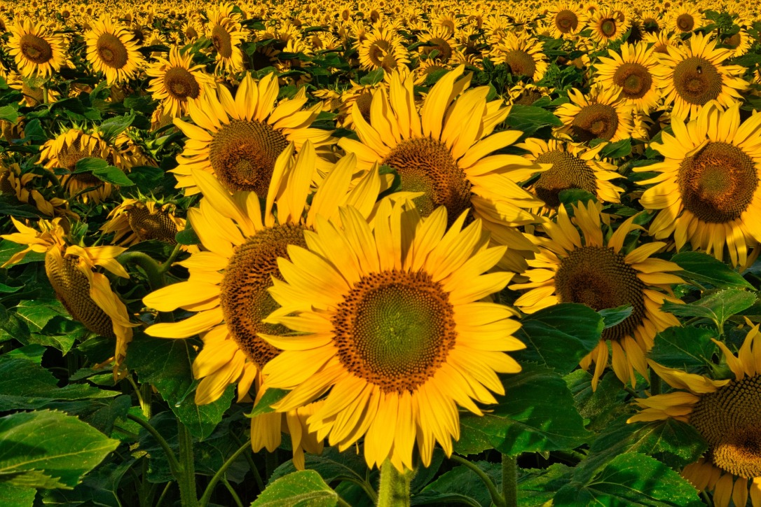 sunflower-5372828_1920